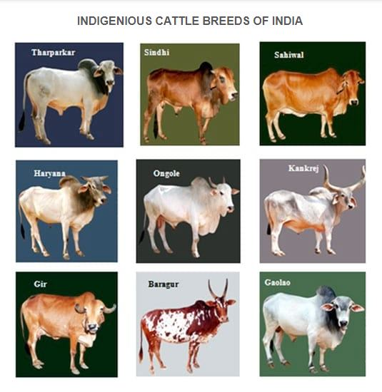 A2 milk producing Cow Breeds