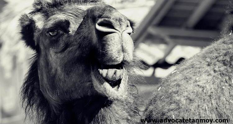 Drinking camel urine